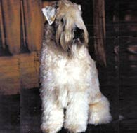Kirru - Soft Coated Wheaten Terrier